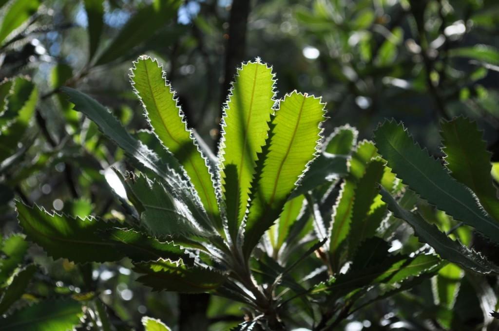 Banksia_serrata backlit