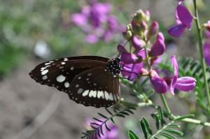 Butterfly on Swainsona galegifolia11.JPG