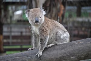 A young koala sits on a fence post near Black Mountain